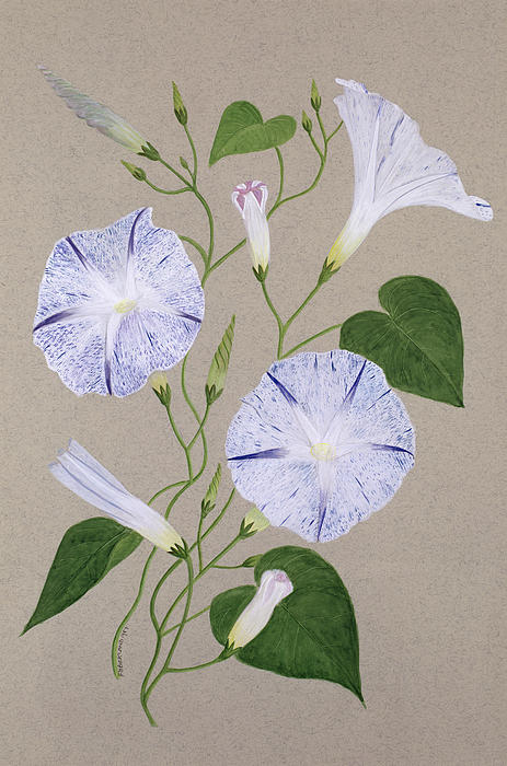 Botanical; Flower; Still Life; Liseron Painting - Convolvulus Cneorum by Frances Buckland