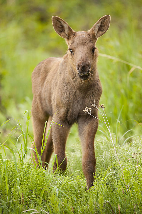 Cute moose calf - photo#1