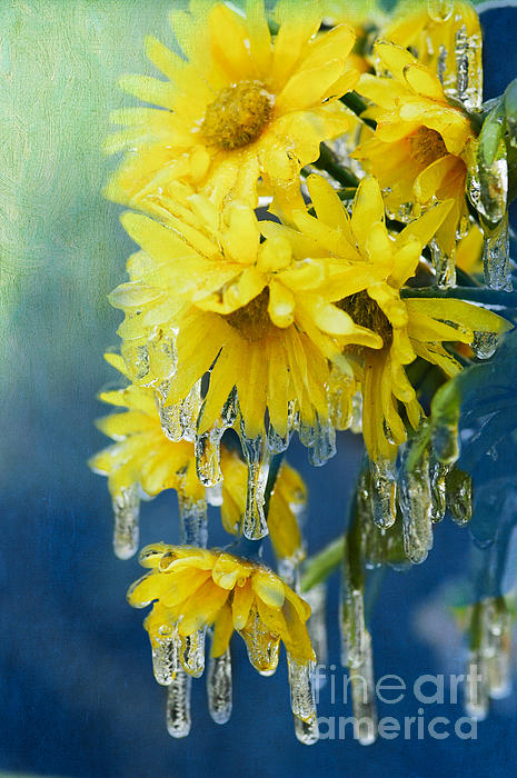 Daisy Photograph - Daisies In Ice by Betty LaRue