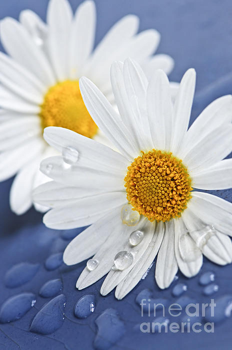 Daisy Flowers With Water Drops Photograph  - Daisy Flowers With Water Drops Fine Art Print
