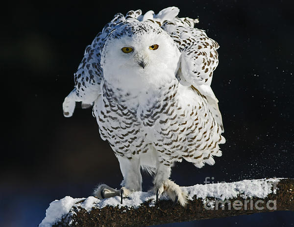 Inspired Nature Photography By Shelley Myke - Dance of Glory - Snowy Owl