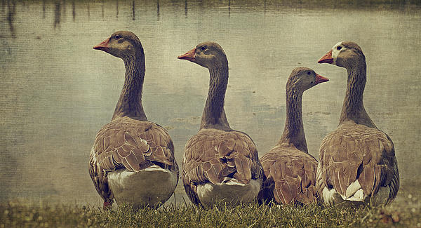 Ducks Photograph - Dare To Be Different by Kathy Jennings