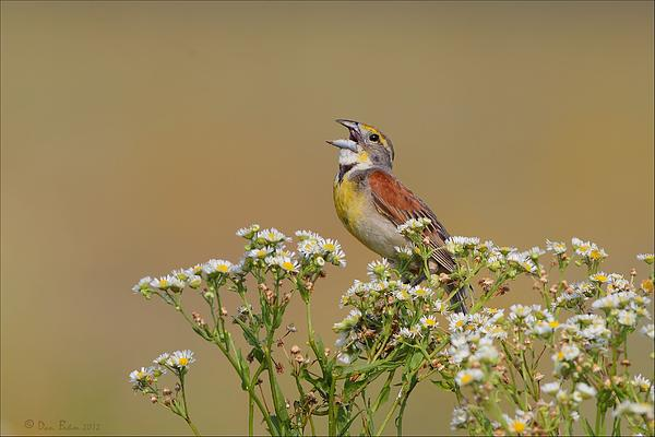 Dickcissel Photograph - Dickcissel On Wild Daisies by Daniel Behm