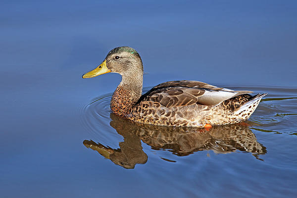 Beak Photograph - Duck by Jim Nelson