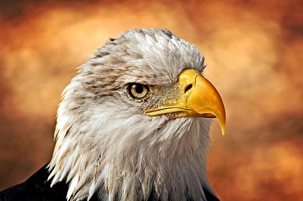 Eagle Photograph - Eagle At Sunset by Marty Koch