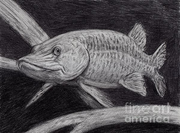 Musky Fish Drawing - Esox Masquinongy by Larry Green