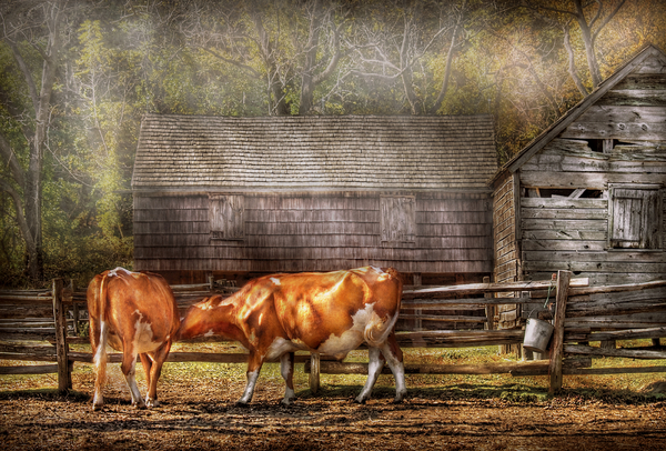 Farm - Cow - A Couple Of Cows Photograph  - Farm - Cow - A Couple Of Cows Fine Art Print