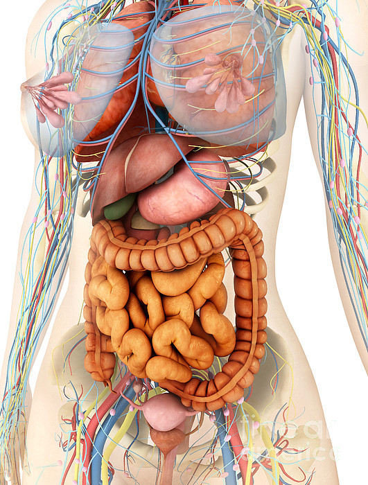 Small Intestine Digital Art - Female Body Showing Digestive by Stocktrek Images