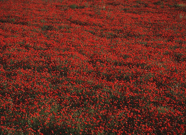 Photographic Photograph - Field Of Red Poppies by Ian Cumming