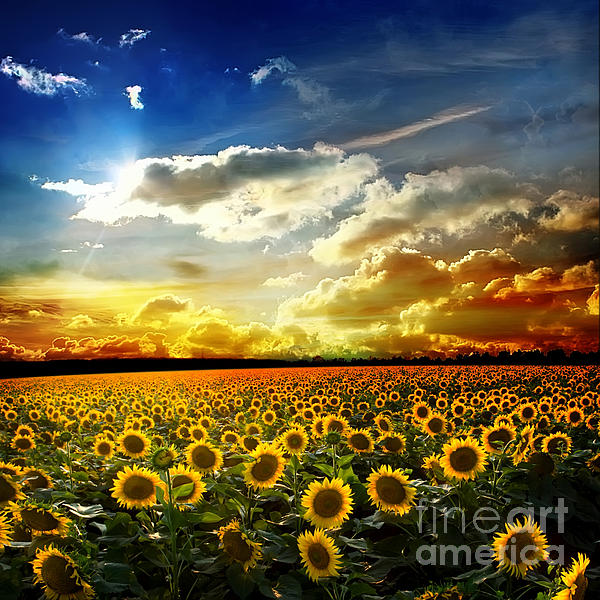 Field  Photograph - Field With Sunflowers by Boon Mee