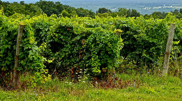 Finger Lakes Vineyard Photograph  - Finger Lakes Vineyard Fine Art Print