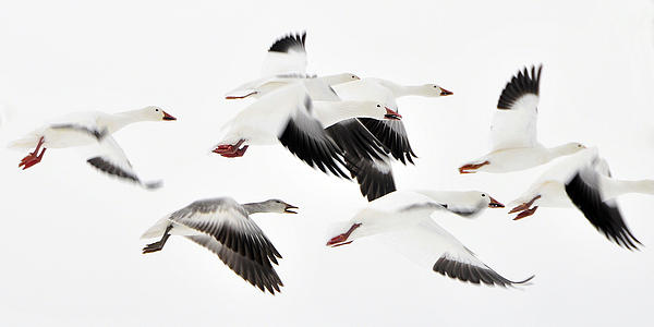 Birds Photograph - Flight Of The Snow Geese by Dan Myers