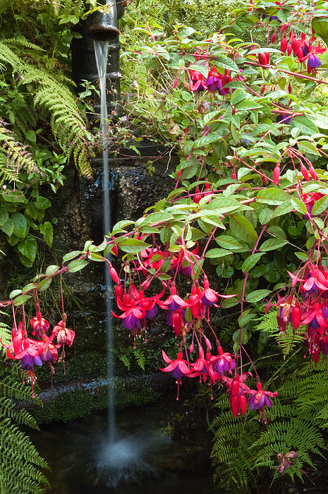 Fuchsia at a Well