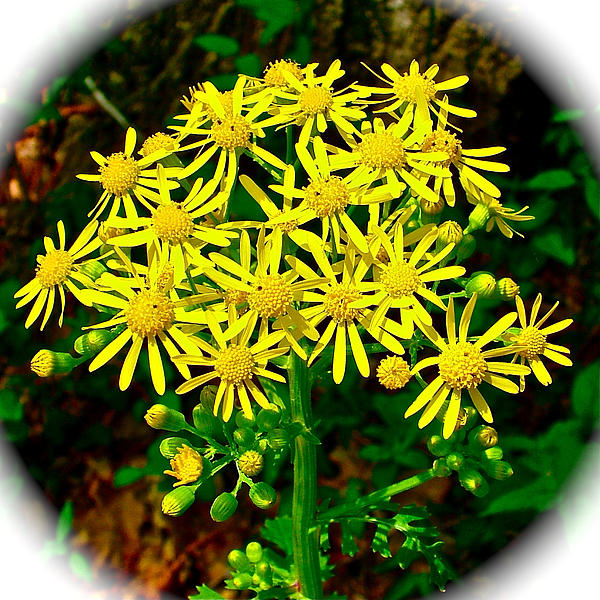 Golden Ragwort In Donivan Slough On Mile 283 Of Natchez Trace Parkway-ms Photograph  - Golden Ragwort In Donivan Slough On Mile 283 Of Natchez Trace Parkway-ms Fine Art Print