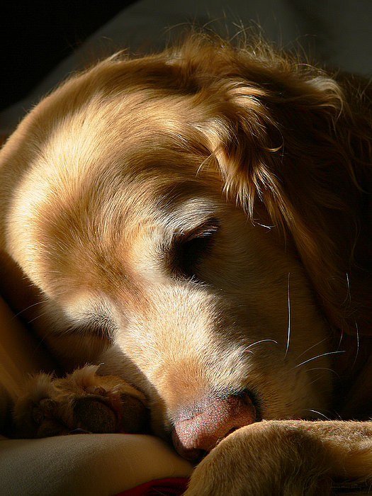 Golden Retriever Dog Sleeping In The Morning Light  Photograph