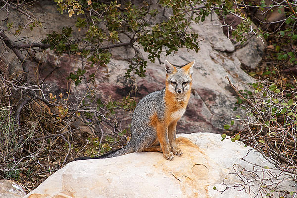 Gray Foc Photograph - Gray Fox II by James Marvin Phelps