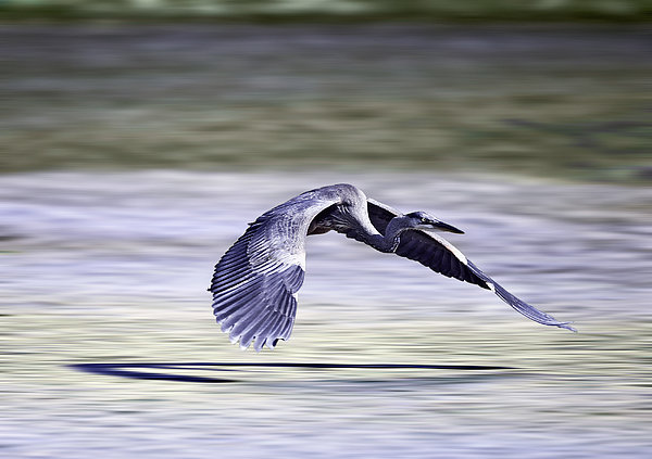 Great Blue Heron In Flight Photograph  - Great Blue Heron In Flight Fine Art Print