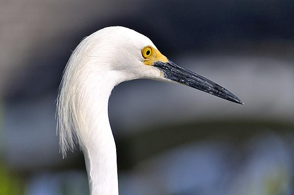 Wildlife key Largo great Egret Photograph - Great Egret by Andres LaBrada