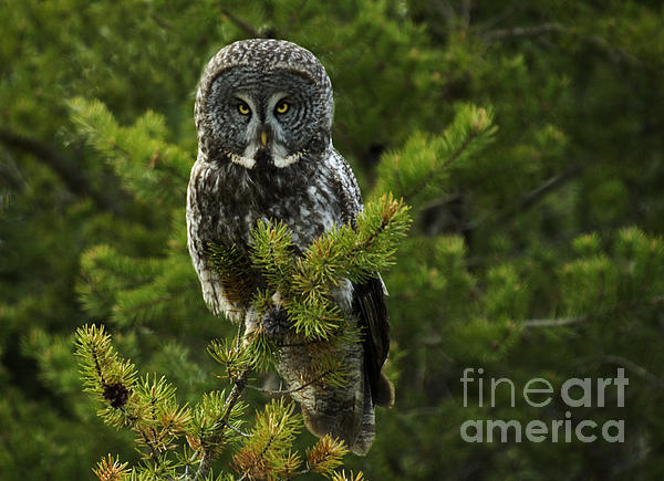 Bob Christopher - Great Grey Owl