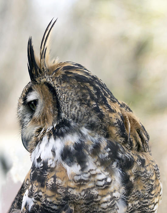 Great Horned Owls Photograph - Great Horned Owl by Dana Moyer