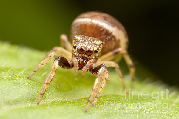 Hammerjawed Jumper I Photograph  - Hammerjawed Jumper I Fine Art Print