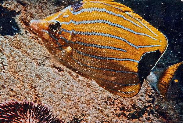 Bill Owen - Hawaiian Butterfly Fish