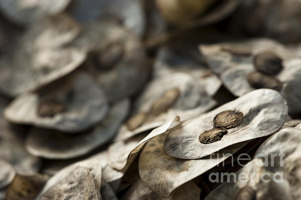 Honesty Seeds Photograph  - Honesty Seeds Fine Art Print