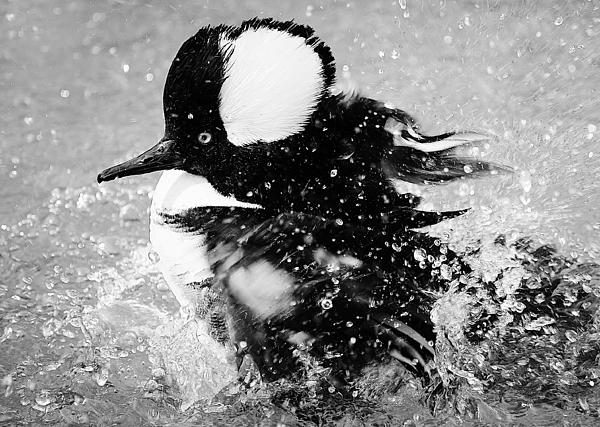 Duck Photograph - Hooded Merganser Taking A Bath by Paulette Thomas