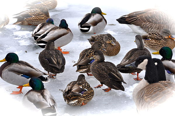 Duck Photograph - Ice Walkers by Catherine Renzini
