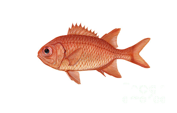 Tropical Fish Digital Art - Illustration Of A Brick Soldierfish by Carlyn Iverson
