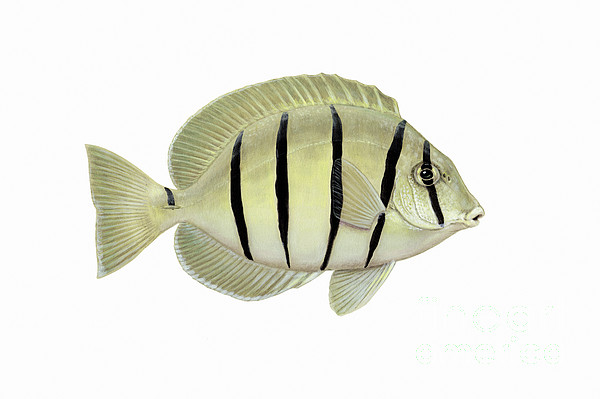 Tropical Fish Digital Art - Illustration Of A Convict Tang Fish by Carlyn Iverson