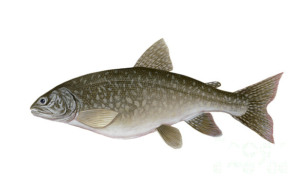 Side View Digital Art - Illustration Of A Lake Trout Salvelinus by Carlyn Iverson