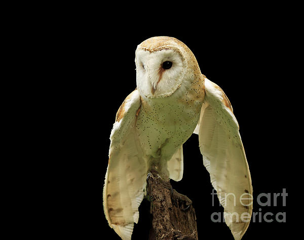 Inspired Nature Photography By Shelley Myke - In the Still of Night Barn Owl