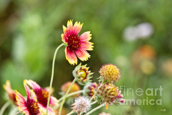 Indian Blanket Photograph  - Indian Blanket Fine Art Print
