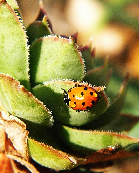 Coccinellidae Photograph - Ladybug And Chick by Chris Berry