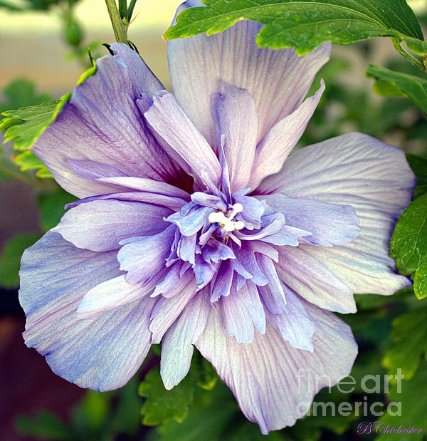 Barbara Chichester - Lavender Blue Rose of Sharon