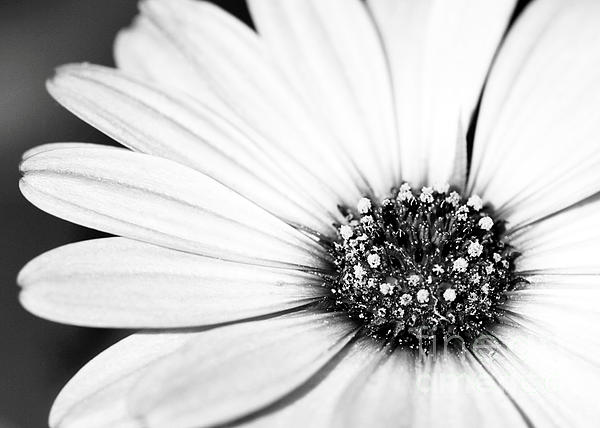 Macro Photograph - Lazy Daisy In Black And White by Sabrina L Ryan