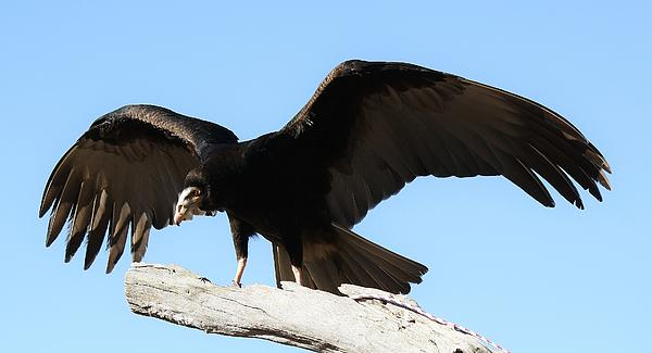 Vulture Photograph - Lesser Yellow Headed Vulture by Paulette Thomas