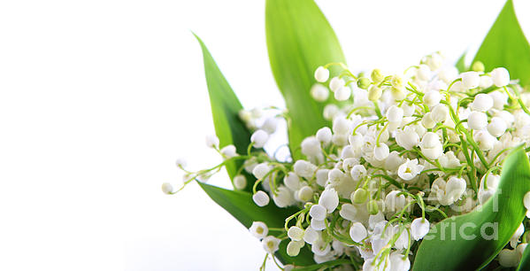 Lily  Photograph - Lily Of The Valley Art by Boon Mee