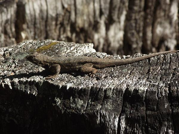 Lizard Photograph - Lizard In Thought by James Rishel