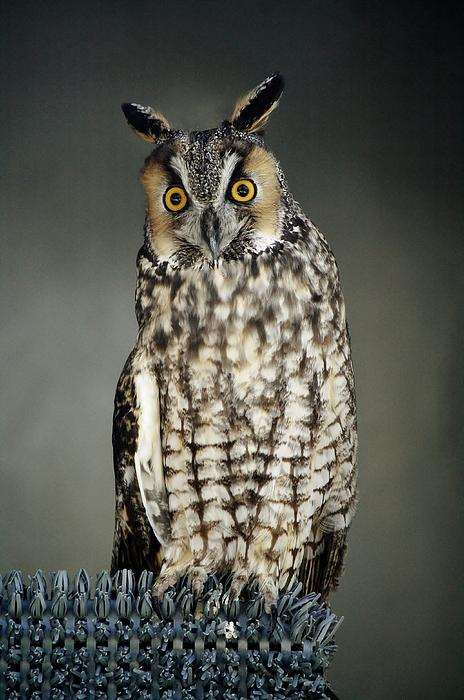 Owl Photograph - Long-eared Owl by Paulette Thomas