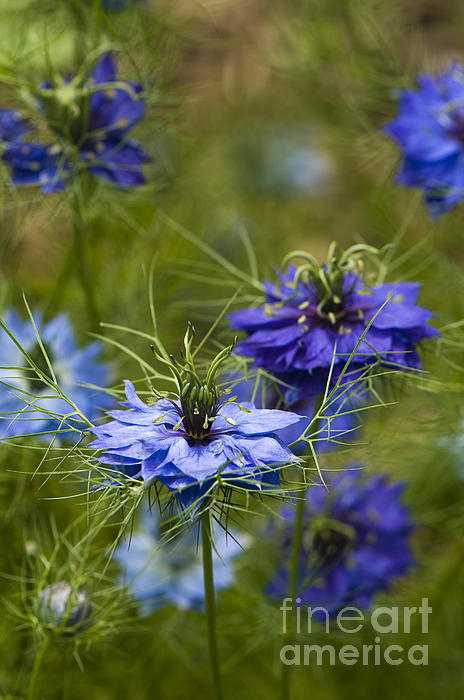 Anne Gilbert - Love in a Mist