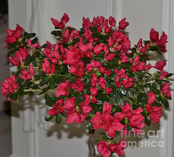 Ruth  Housley - Lovely Azalea Tree for Mothers Day