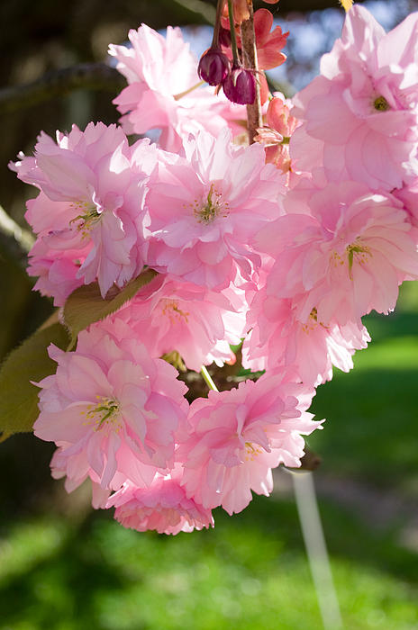 Lovely Cherry Blossom Photograph  - Lovely Cherry Blossom Fine Art Print
