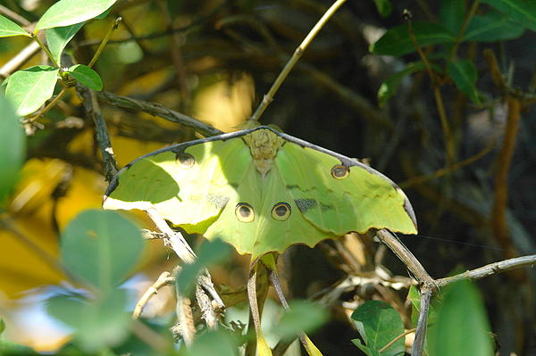 Moths Photograph - Luna Moth In The Sun by Jeff Swan