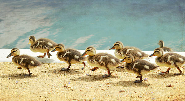 Ducklings Photograph - March Of The Ducklings by Fraida Gutovich