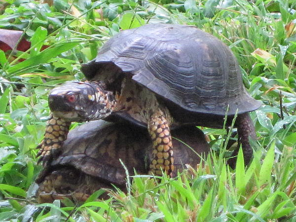 Turtle Photograph - Mating Turtles by Vicki Kennedy