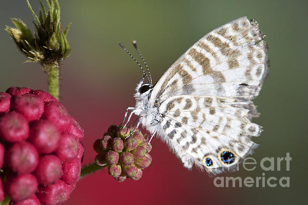 Miami Photograph - Miami Blue Butterfly I by Pamela Gail Torres