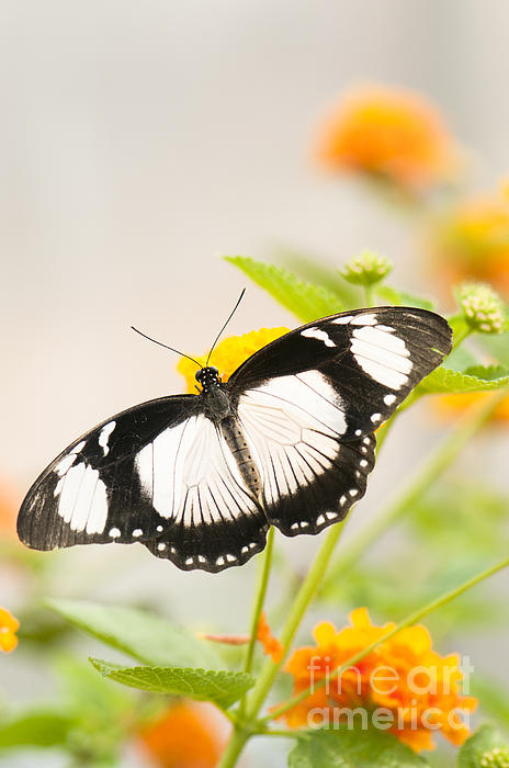 Mocker Swallowtail Photograph  - Mocker Swallowtail Fine Art Print