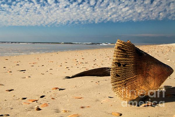 St Joseph Peninsula State Park Photograph - Monster Clam by Adam Jewell